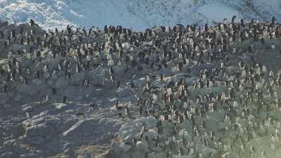 Congrégation de manchots Adélie sur la glace