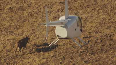 Rassemblement du bétail par hélicoptère et moto