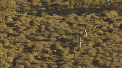 Rassemblement du bétail par hélicoptère