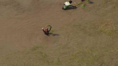 Hommes travaillant à la plantation d'une rizière
