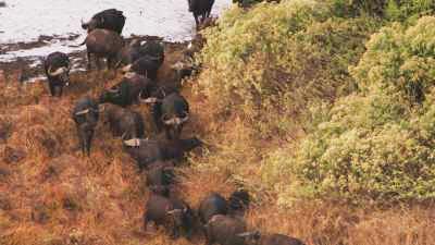 Buffles dans le delta de l'Okavango