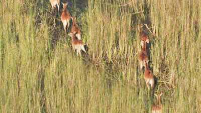 Antilopes, koudous