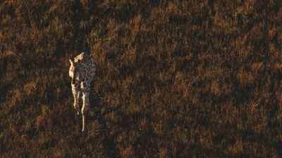 Girafes dans la lumière du soir