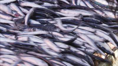 Très gros plans de sardines grouillantes chargées à bord