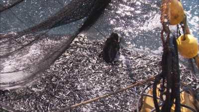 Phoque pris dans les filets de pêche