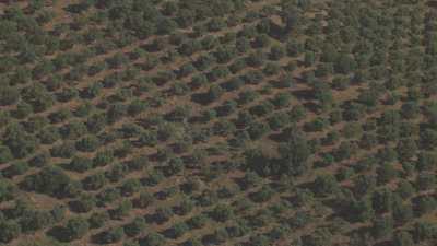 Plantation d'oliviers en Algérie