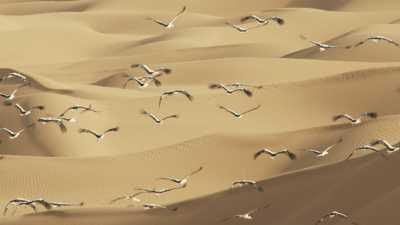 Cigognes dans les dunes
