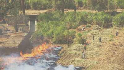 Champs de canne à sucre en feu