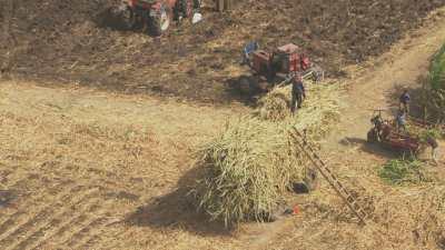 Récoltes dans les champs de canne à sucre