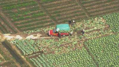 Récoltes dans les champs de choux