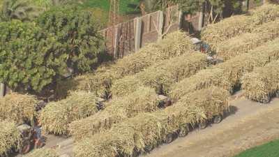 Chargements de canne à sucre à destination de la raffinerie