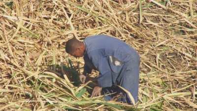 Récolte des cannes à sucre