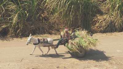 Transport des cannes à sucre sur de petites charrettes