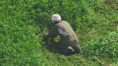 Arrachage dans les champs