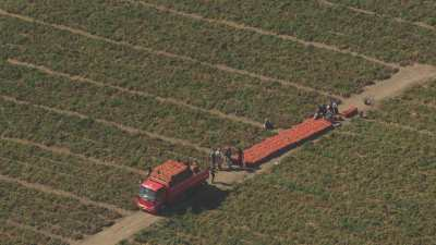 Récolte et transport des tomates