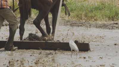 Labourage manuel avec un cheval dans les terres inondées
