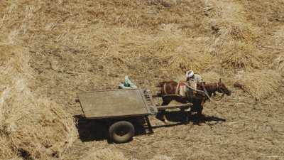 Attelage du cheval dans le champs