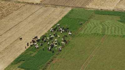 Troupeau de vaches qui broute