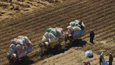 Chevaux chargés en sacs de blé