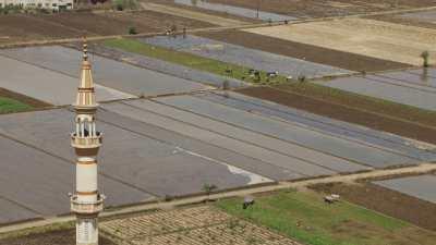 Vaches dans les champs inondés, clocher d'une mosquée