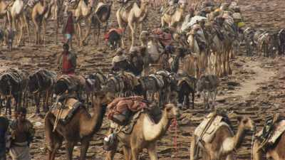 Caravane de sel du lac Assal, chameaux