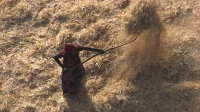 Gros plans sur des paysans et des boeufs du Tigray