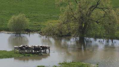 Vaches sur un étang