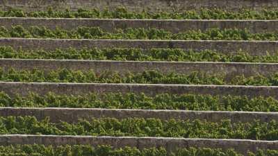 Vendanges dans les vignes du Maine-et-Loire