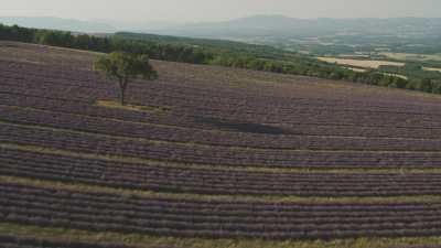 Les champs de lavande