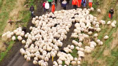 Rassemblement annuel des moutons