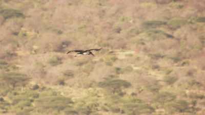 Tantale ibis en vol