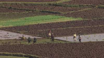 Des paysans travaillent la terre avec leurs boeufs