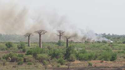 Allée des baobabs et écobuage