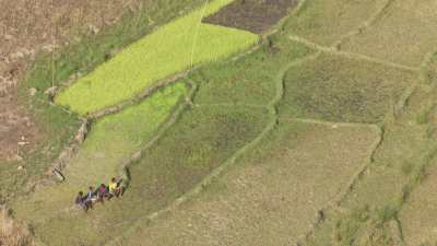 Troupeaux de zébus dans les champs