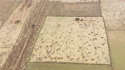 Gros plans sur un cultivateur pieds nus et son attelage