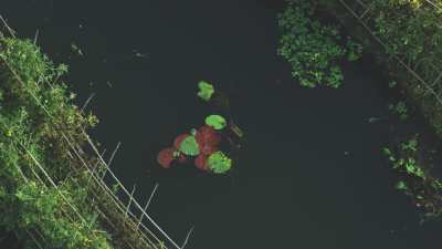 Nénuphars verts et rouge