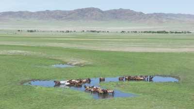 Chevaux sauvages se baignant dans un bassin