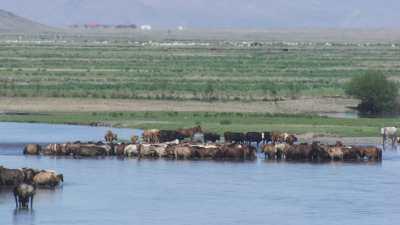 Un troupeau de chevaux sauvages se baignant