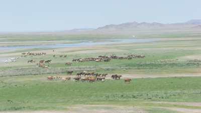 Chevaux sauvages dans la steppe
