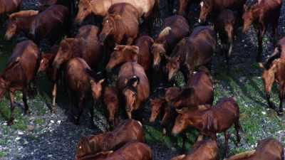 Troupeau de chevaux mongols