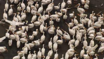 Repas des Pélicans sur une plage