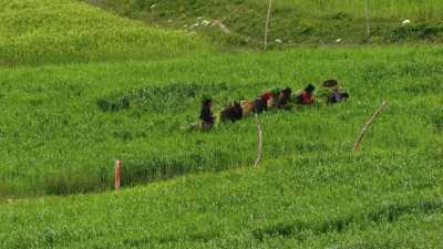 Récolte dans les champs autour de Lo-Mantang