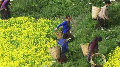 Paysannes dans les champs
