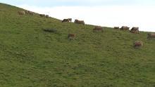 Etables dans la montagne, troupeaux autour de Salers