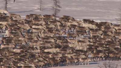 Transhumance des rennes