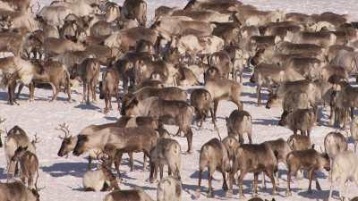 Camps de nomades Nénètses et leurs rennes près de Doudinka