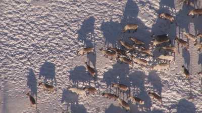 Transhumance des rennes guidés par les nomades Nénètses