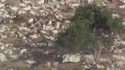 Plans larges et zoom sur éleveurs et bétail