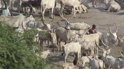 Gros plans sur les éleveurs et bétail (Cattle camps)