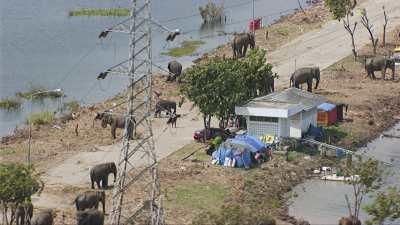 Eléphants du Kraal royal d'Ayutthaya réfugiés